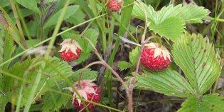 Витаминно-травяная мука «Лесная Ягода» (архивный)